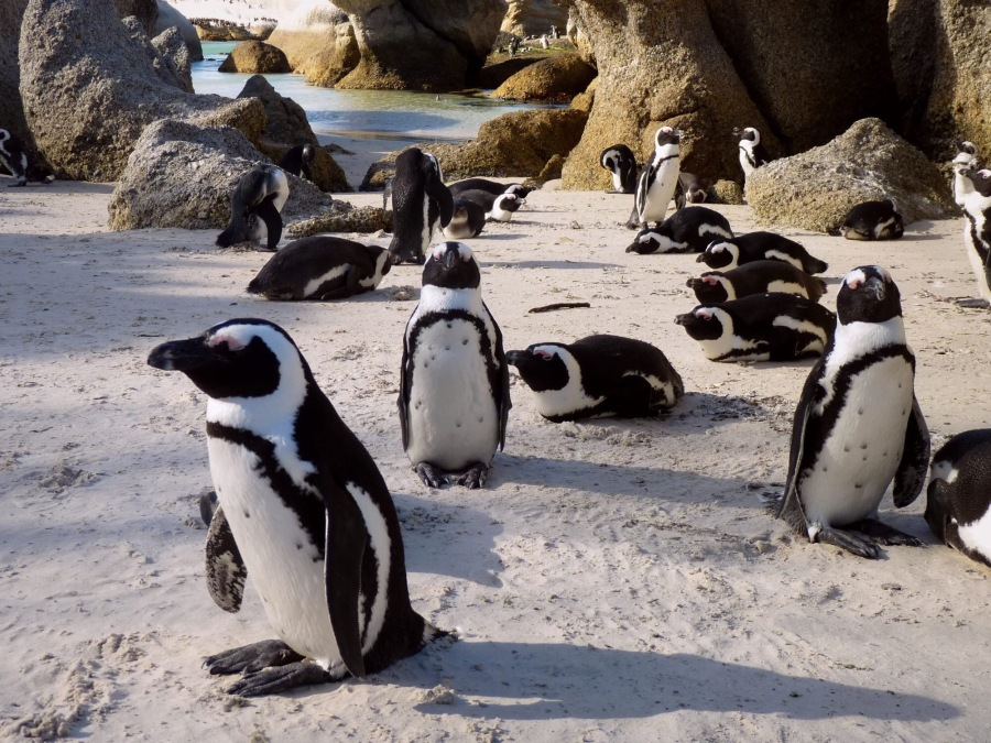 THE PENGUIN KINGDOM – SIMON'S TOWN